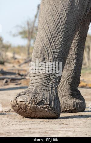 Close up of elephant feet, elephant blind, Khwai Private Reserve, Okavango Delta, Botswana - Stock Photo