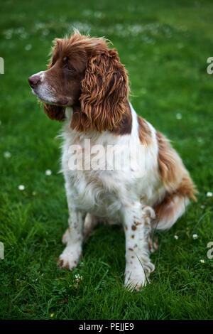 An adult springer spaniel sits on a green lawn - Stock Photo