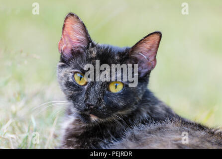 Close-up of a domestic cat. Felis silvestris catus. Portrait of cute tabby household pet. Sad amber eyes. Melancholy face, eye contact, ears, whiskers. - Stock Photo