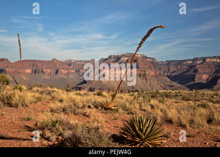 AZ00282-00...ARIZONA -Desert vegetation along the trail in the Cedar Ridge area, a popular rest stop along the South Kaibab Trail in Grand Canyon NP. - Stock Photo