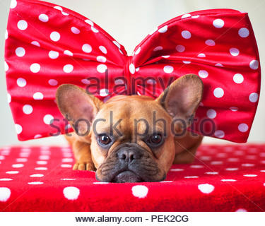 red fawn french bulldog on a red blanket with white polka dots wearing an over sized red bow with white polka dots - Stock Photo
