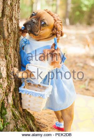 red fawn frenchi bulldog dressed as dorothy wizard of oz standing against a tree - Stock Photo