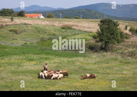 Shepherd guiding his sheep along a field at warm day in summer, Kardzhali Province, Bulgaria - Stock Photo