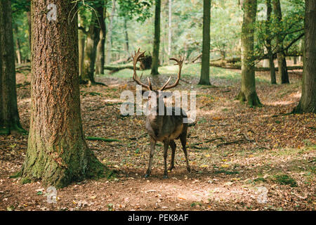 A beautiful wild deer with horns in the autumn forest among the trees - Stock Photo