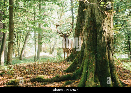 Beautiful deer with branched horns stands on a hill in an autumn forest among trees - Stock Photo