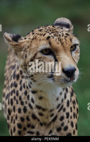 Cheetah large wild cat - Stock Photo