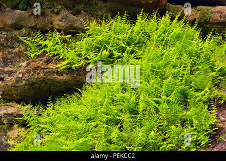 Wood ferns growing on sandstone rock walls in the Tannery Creek canyon, Alger County, near Munising, Michigan, USA - Stock Photo