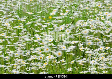 A patch of Oxeye daisy (Leucanthemum vulgare), Hwy 63 near Ashland, Wisconsin, USA - Stock Photo