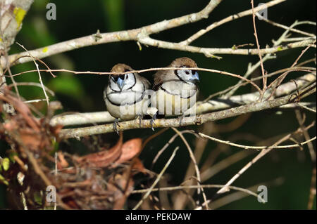 Two Australian, Queensland Double-barred Finches ( Taeniopygia bichenovii ) looking for food - Stock Photo