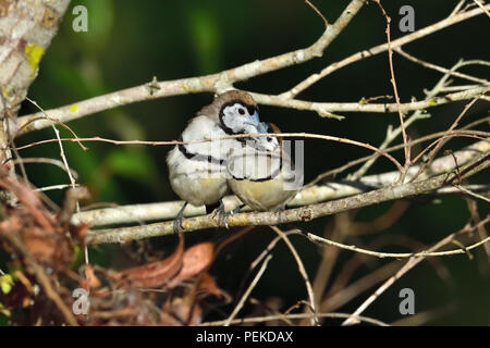 Two Australian, Queensland Double-barred Finches ( Taeniopygia bichenovii ) taking turns at preening each other - Stock Photo