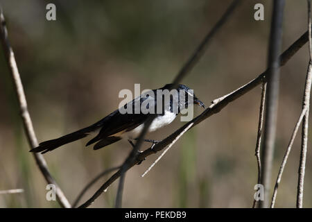 An Australian, Queensland Willie Wagtail ( Rhipidura leucophrys ) about to eat a Spider - Stock Photo