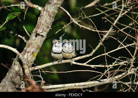 Two Australian, Queensland Double-barred Finches ( Taeniopygia bichenovii ) resting on a tree branch - Stock Photo