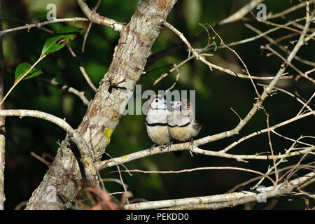 Two Australian, Queensland Double-barred Finches ( Taeniopygia bichenovii ) looking at each other - Stock Photo