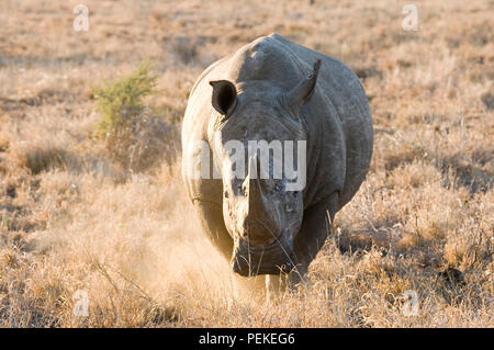 White Rhino charging - Stock Photo