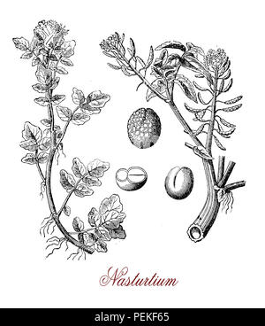 Vintage engraving of Nasturtium officinale or watercress,aquatic  edible plant with peppery taste - Stock Photo