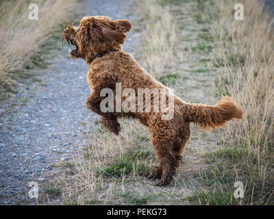 Red haired Cockapoo dog at exercise and play countryside - Stock Photo