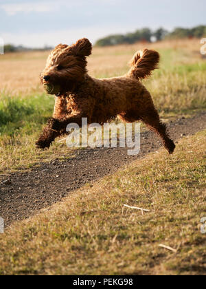 Red haired Cockapoo dog leaping during play in the countryside, UK - Stock Photo