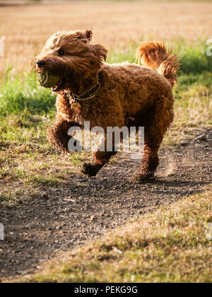 Red haired Cockapoo dog in action retrieving a tennis ball during training on a dusty countryside track, UK - Stock Photo
