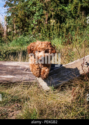 Red haired Cockapoo dog chasing and jumping over a fallen wooden fence during playtime in the Lincolnshire countryside. England UK - Stock Photo