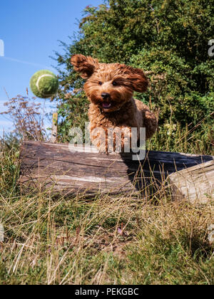 Red haired Cockapoo dog chasing a tennis ball during playtime in the Lincolnshire countryside. England UK - Stock Photo