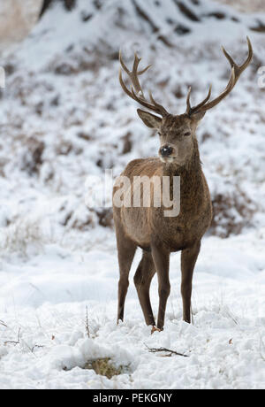 Red Deer Stag in the snow Richmond Park United Kingdom - Stock Photo