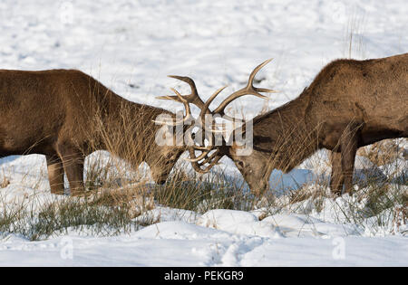 Red Deer Stags rutting in the snow Richmond Park United Kingdom - Stock Photo