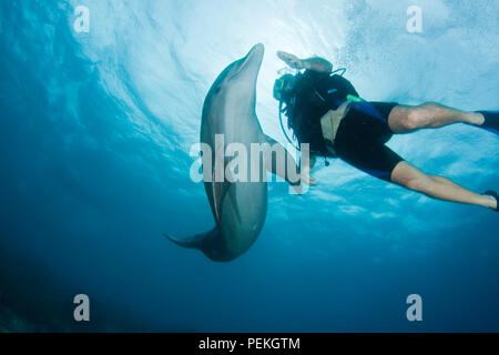 Diver (MR) and bottlenose dolphin, Tursiops truncatus, on the reef outside The Curacao Sea Aquarium, Curacao, Caribbean. - Stock Photo