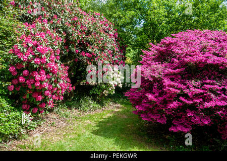 Rhododendrons and azaleas in Langley Park, a historic parkland in Buckinghamshire, UK - Stock Photo