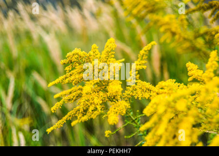 Goldenrod blooming in summer on the meadow. - Stock Photo
