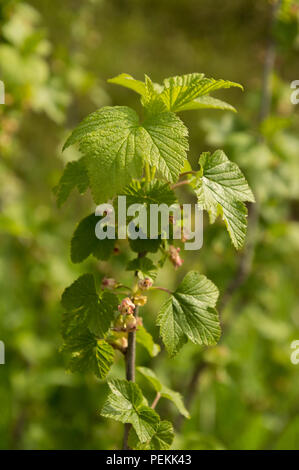 Black currant Ribes flowers in spring closeup of stems - Stock Photo