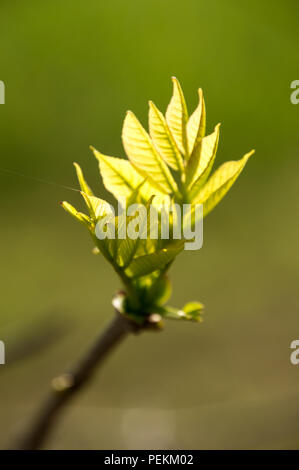 Translucent new ash leaves opening from the buds in spring - Stock Photo