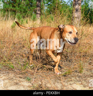redhead American pit bulls  walk on nature in the autumn afternoon - Stock Photo