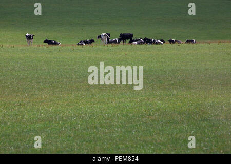 Holstein cows in a meadow - Stock Photo