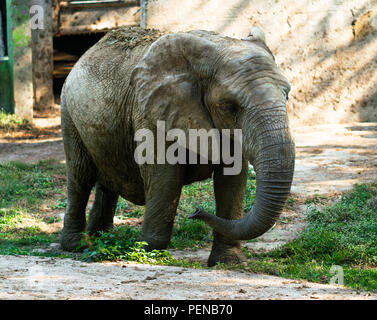 Young African elephant covered in dried mud for protection against sun and pest - Stock Photo
