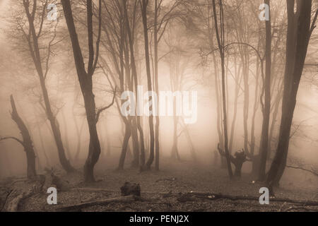Beechwood in the mist. - Stock Photo