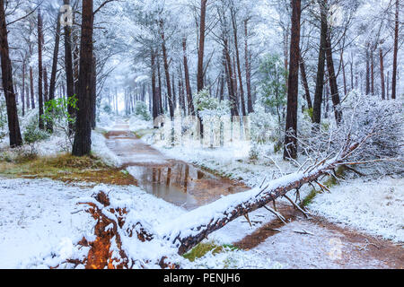Conifer forest and snow. Ayegui. - Stock Photo