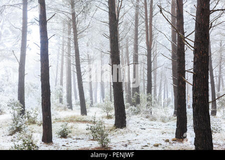 Conifer forest and snow. - Stock Photo