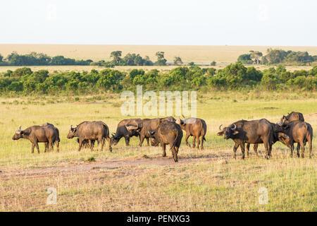 Herd of African buffalo in the savannah - Stock Photo