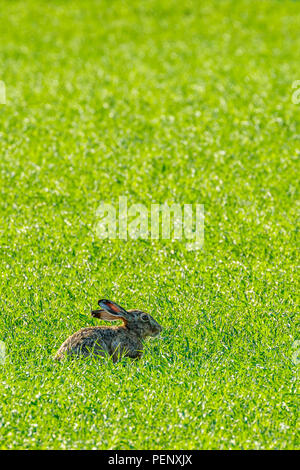 Brown Hare in the grass on a meadow - Stock Photo
