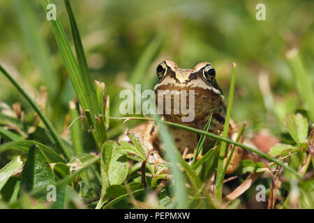 Young Common Frog (Rana temporaria) at rest in grass. Tipperary, Ireland - Stock Photo