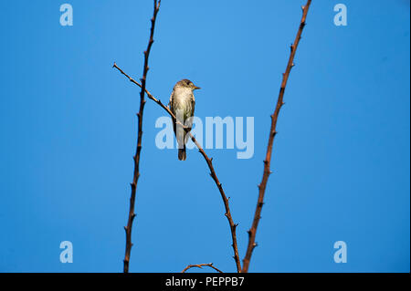 Greater Pewee (Contopus pertinax) perched in a tree, Alan Lloyd trail, Ajijic, Jalisco, Mexico - Stock Photo