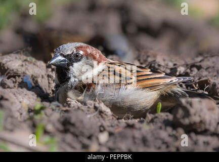House Sparrow (Passer domesticus) sitting on the ground on earth in a garden in Spring in West Sussex, England, UK. - Stock Photo