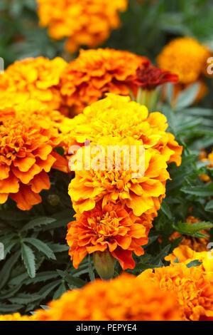 Tagetes patula. French Marigold 'Fireball' flowers. - Stock Photo