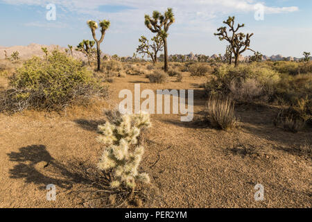 Large cholla cactus in foregound and Joshua trees in the back - Stock Photo