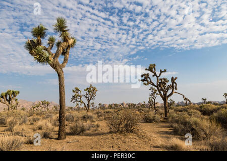 Joshua trees with puffy clouds in Joshua Tree National Park. The Mojave Desert floor is home to this unusual member of the yucca family. - Stock Photo