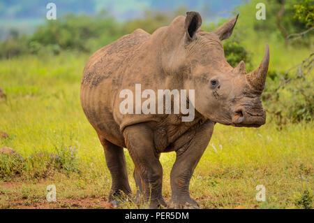 A Cute male bull white Rhino in Kruger near Marloth park grazing on green grass savannah land - Stock Photo