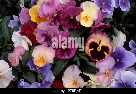 Colourful pansy flowers (Viola x wittrockiana) - Stock Photo