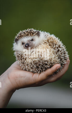 small prickly hedgehog curled up in a ball on the child's hand - Stock Photo