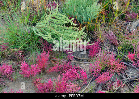 Salt tolerant vegetation- Red samphire (Salicornia rubra A. Nels.) On shore of the Salt River, Wood Buffalo National Park, Alberta, Canada - Stock Photo