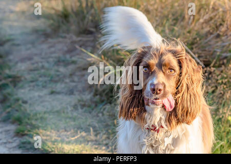 Cute pet outdoor.Portrait of brown and white cocker spaniel dog lit by afternoon sunlight, standing on path with its tongue hanging out and tail up. - Stock Photo